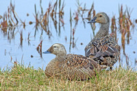 Spectacled & King Eider Females
