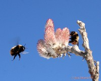 Bees on Arctic Willow