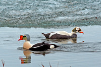 King & spectacled Eider Males