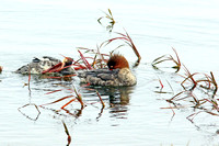 Preening Red-breasted Mergansers