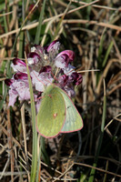 Purple Lousewort and Butterfly