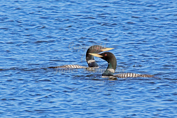 Yellow-billed Loons