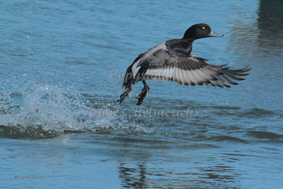 Greater Scaup Male Takeoff